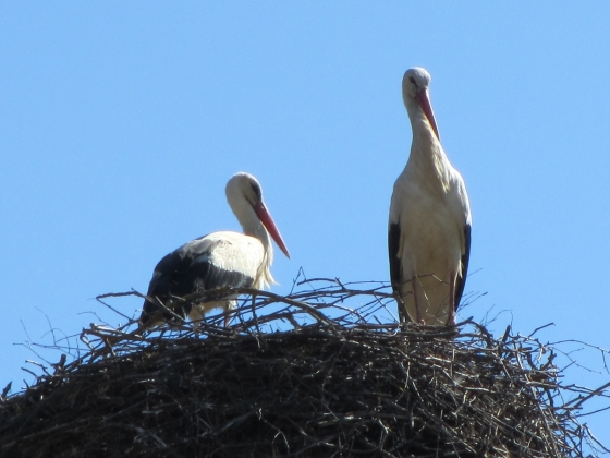 Storks back on their nest